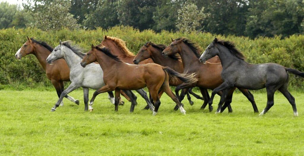 Holsteiner Pferdeverkauf Behrendorf
